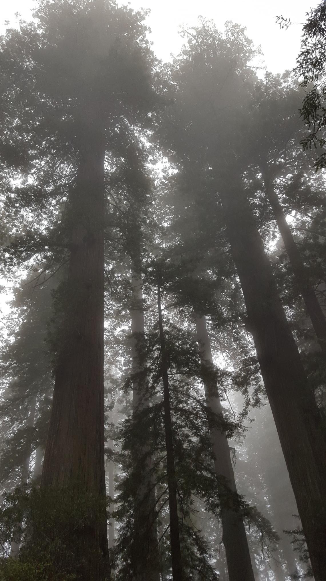 Lady Bird Johnson Grove Redwood National Parlk California 14.03.162016-03-14 12.03.26