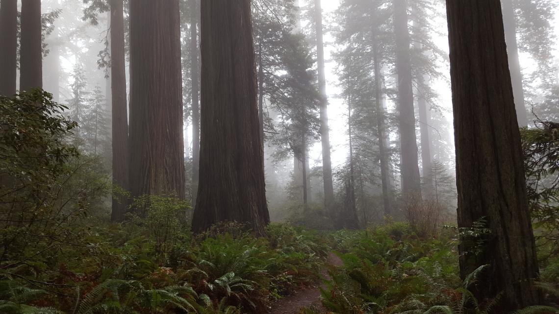 Lady Bird Johnson Grove Redwood National Parlk California 14.03.162016-03-14 12.09.27