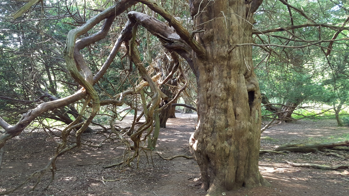 Kingley Vale Yew Trees West Sussex 28.05.1620160528_162953