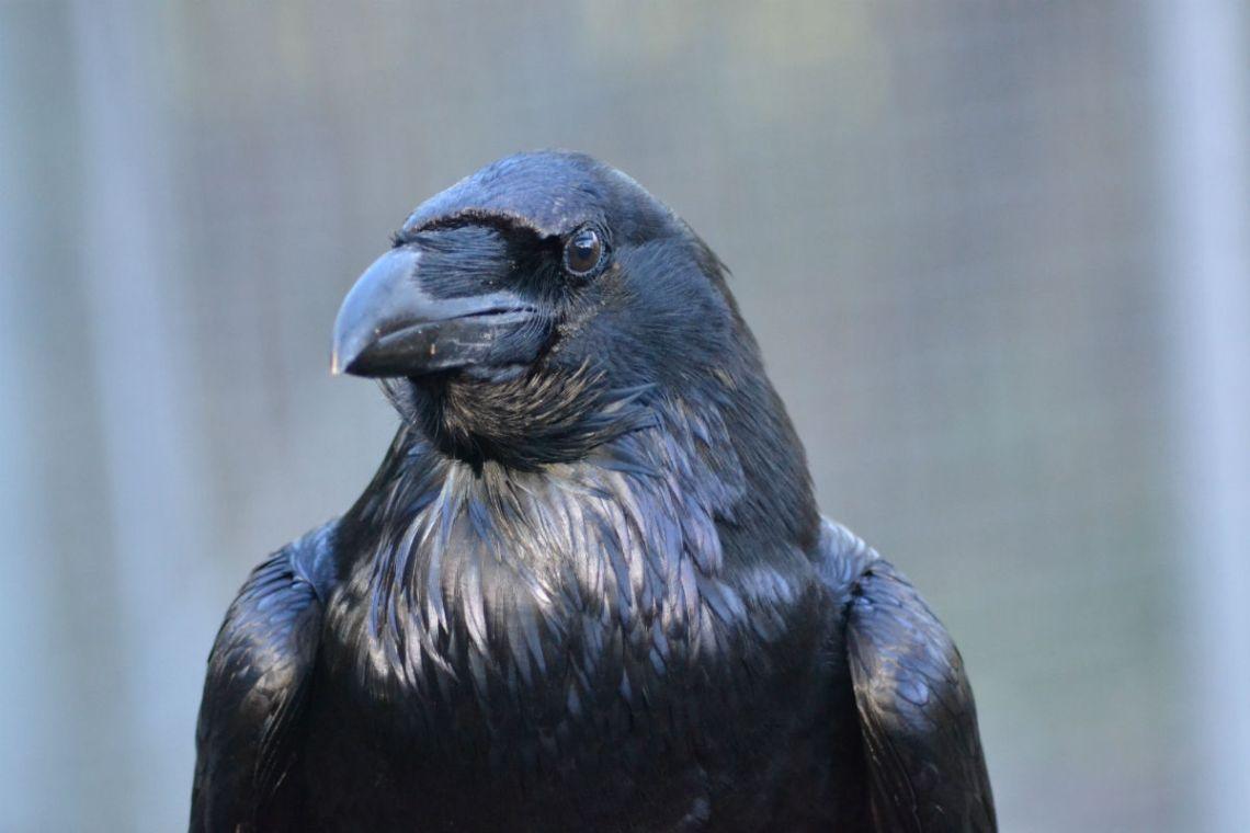 suspicious-ravens-01